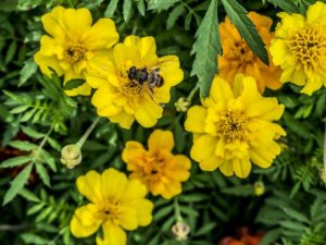 Plant bee friendly plants in your yard
