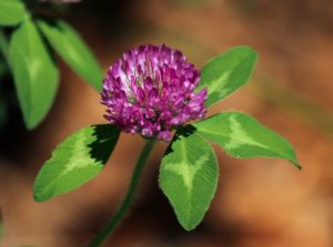 Red clover will help your bones stay strong & the blossoms will help you fight a UTI.