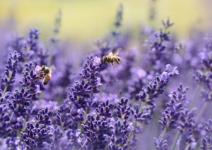 You can use lavender for it's scent. It's oil wards off mosquitoes & It's calming & can help you sleep better, fights depression, & it attracts bees... You can also use it for cleaning. What more can you want from this pretty plant?