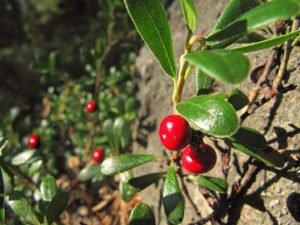 Have you ever heard of bearberry? Did you know it can help with a UTI?